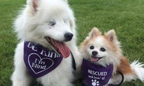 En vacker vänskap mellan en blind hund och hans ledarhund