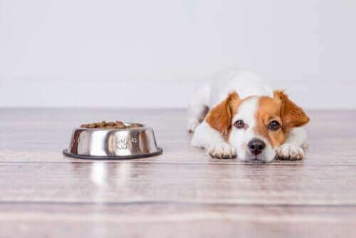 Hund ligger bredvid sin fulla matskål.