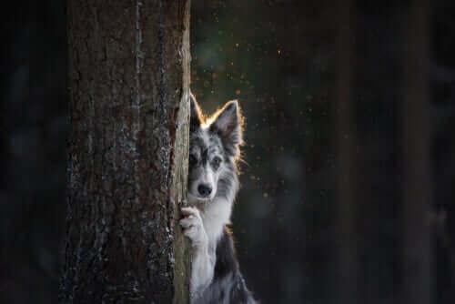 EN hund som gömmer sig bakom ett träd.