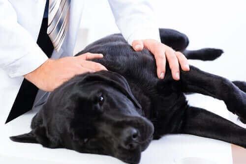 En hund som har ont undersöks hos veterinär.