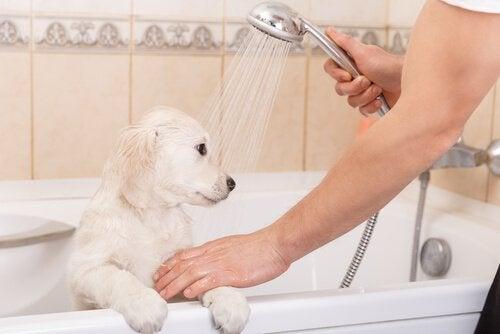 Hundvalp blir duschad.