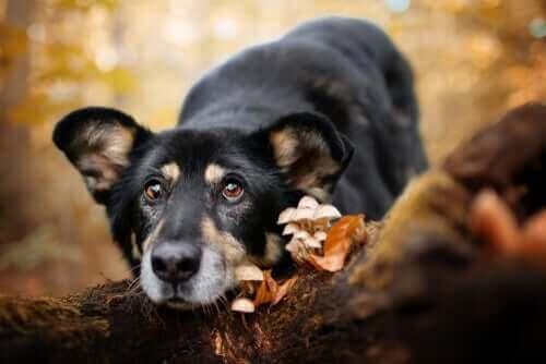 Hund hittar svamp ute i skogen.