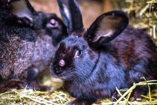 En flock kaniner med kaninpest.