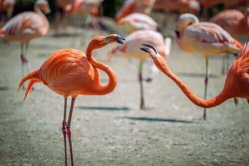 Två flamingos som är konkurrenter.