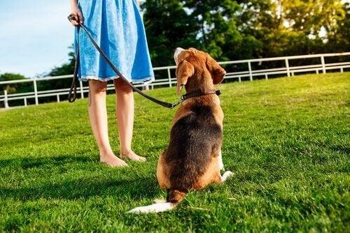 Kopplad hund tittar på sin ägare.