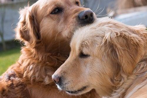 Golden Retrievers som kramar varandra.