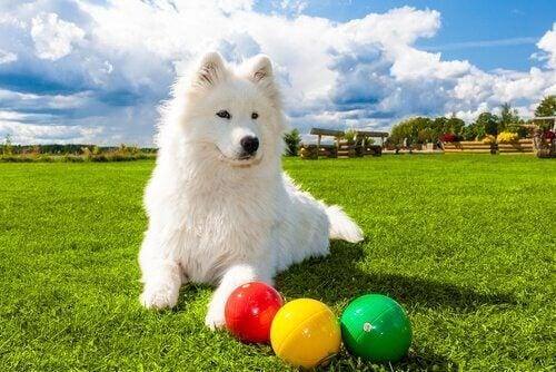 En hund som leker för att öva sin intelligens.