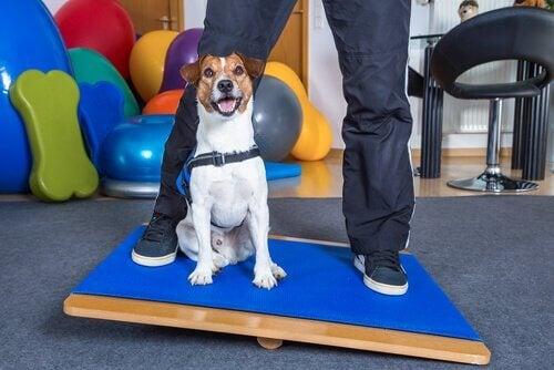 Hund på balansbräda med ägare.