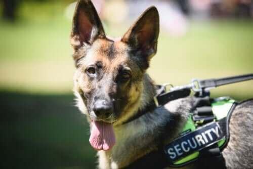 Att utbilda polishundar: Från tjänst till pension