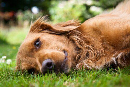 Allt om Ehlers-Danlos syndrom hos hundar