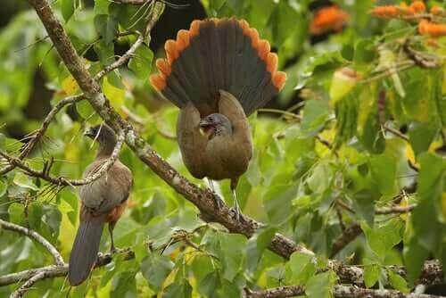 Chachalaca hane dansar för en hona.
