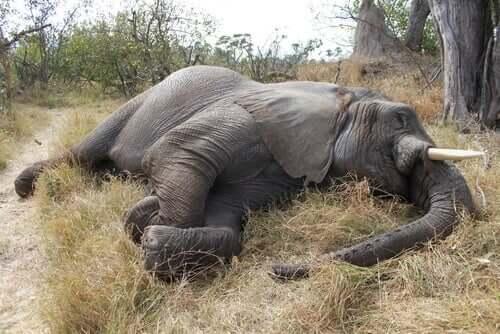Elefant ligger död i gräset.
