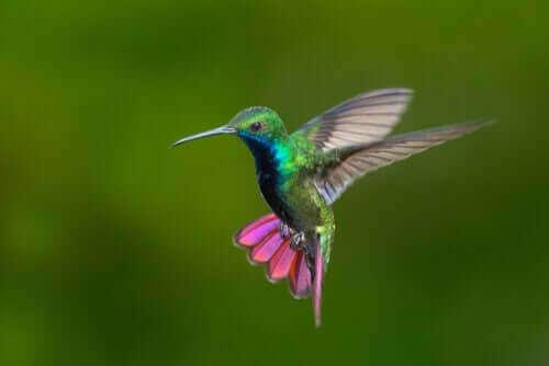 Färgglada kolibrier i Colombia och Venezuela