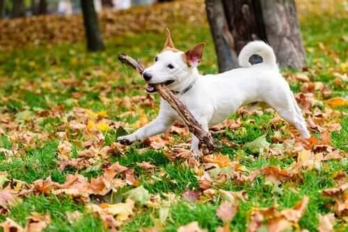 En hund som leker med pinnar.