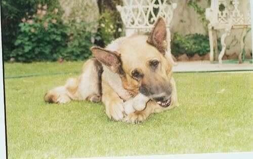 En hund som tuggar på ett ben.