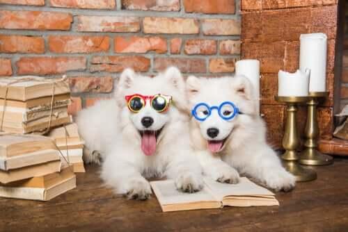 Hundar med solglasögon låtsas läsa.