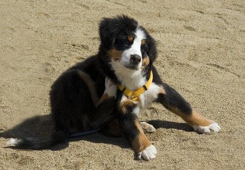 Försiktighetsåtgärder för hundar med loppallergi
