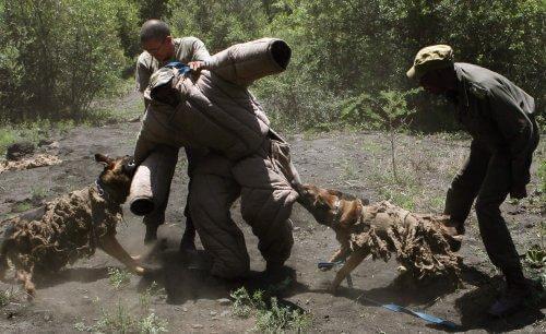 Hundar som bekämpar illegal jakt i Afrika