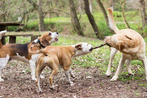Att låta hunden leka med pinnar: Veterinärer varnar för farorna