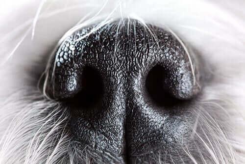 Närbild på en hundnos.