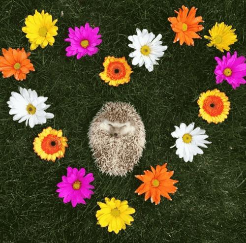 En igelkott ligger i ett hjärta gjort av blommor.