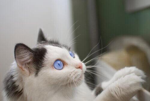 Katt med blå ögon.