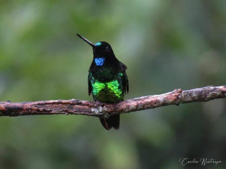 Mörk inka kolibri