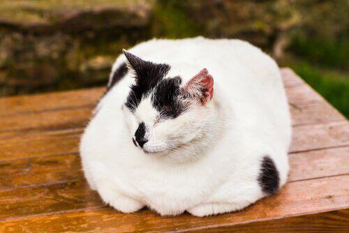 Saker du bör veta om du har en överviktig katt