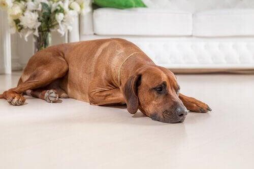 Pessimism hos hundar är farligt och liknar depression