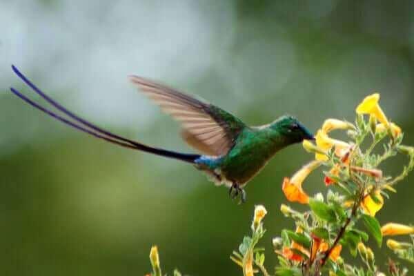Venezuelasylfen är en art av färgglada kolibrier.