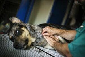 Hund ger blod