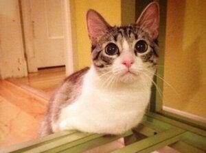 Tvåbent katt