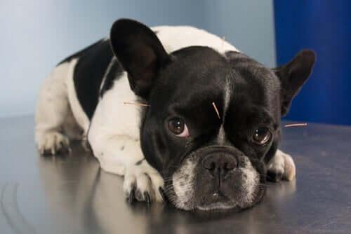 Hund med akupunkturnålar i huvudet.
