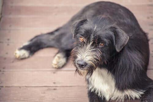 Äldre hund med grå päls på nosen.