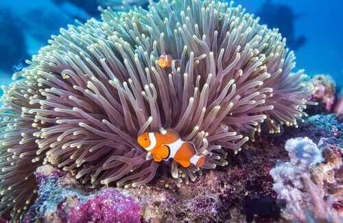 Clownfisk simmar vid korall.