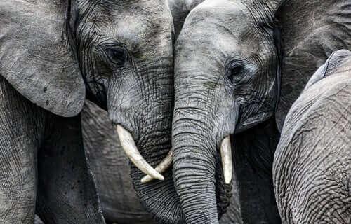 Elefanter kramas med snabeln.