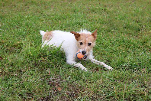 Ogräsfrön och taggar: dolda faror för din hund i naturen