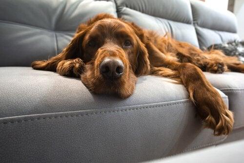 Ny studie: Gamla hundar KAN lära sig nya trick!