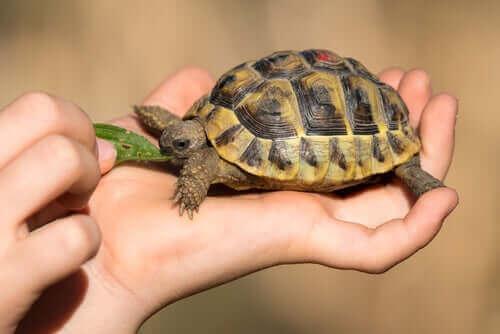 3 vanliga hälsoproblem hos tamsköldpaddor