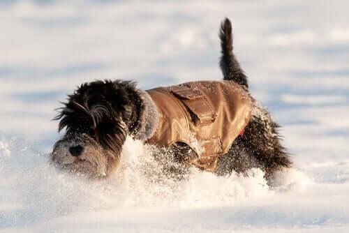 Hund med jacka på sig leker i snön.