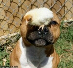 Pitbull med kyckling på nosen