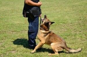 Vuxen hund lyssnar på sin tränare.