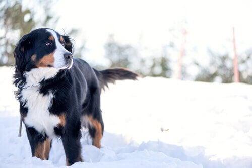 Hund går igenom snön.