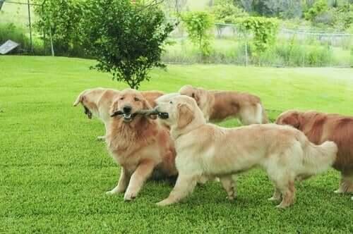 Hundar leker i en flock.