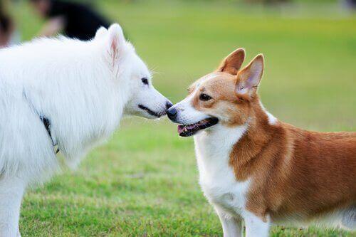 Hundar säger hej till varanra.