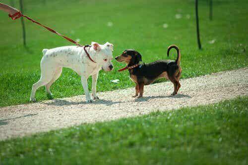 Varför sniffar hundar på varandra? Är det för att säga hej?