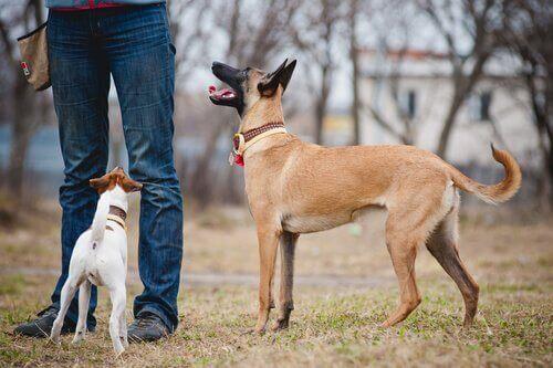 Hundar tränar lydnad