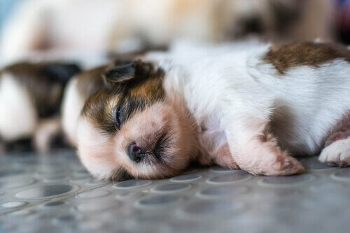 Kullstorlek: Hur många valpar kan en hund få?