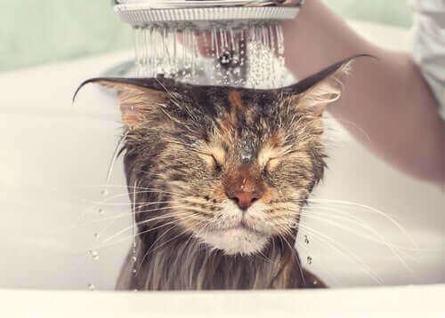 Katt får en dusch.