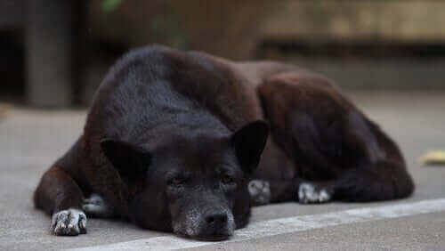 Kognitivt dysfunktionssyndrom hos äldre hundar